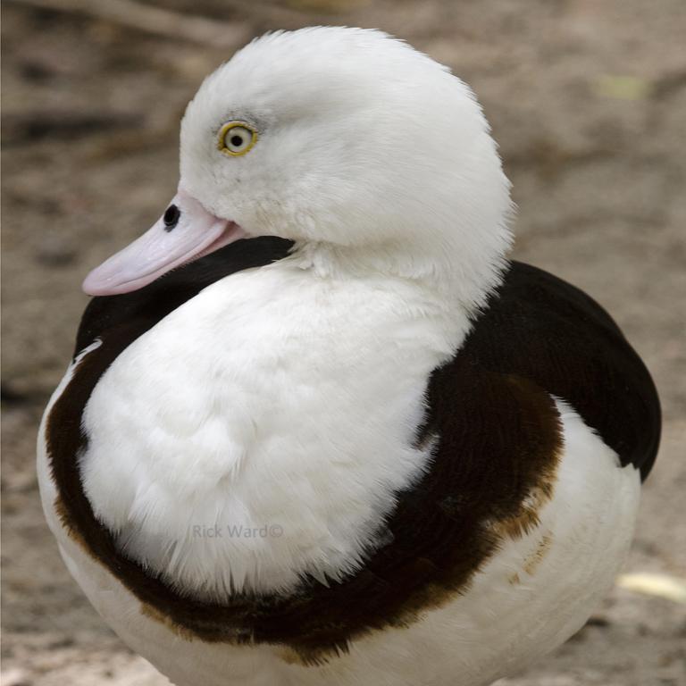 duck 14X14 in.