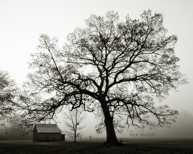 Oak Tree in Fog,  24 X 30 in.