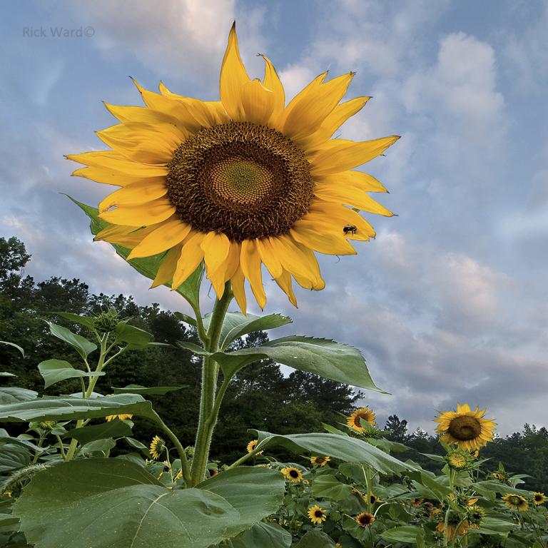 Sunflower 14X14 in.