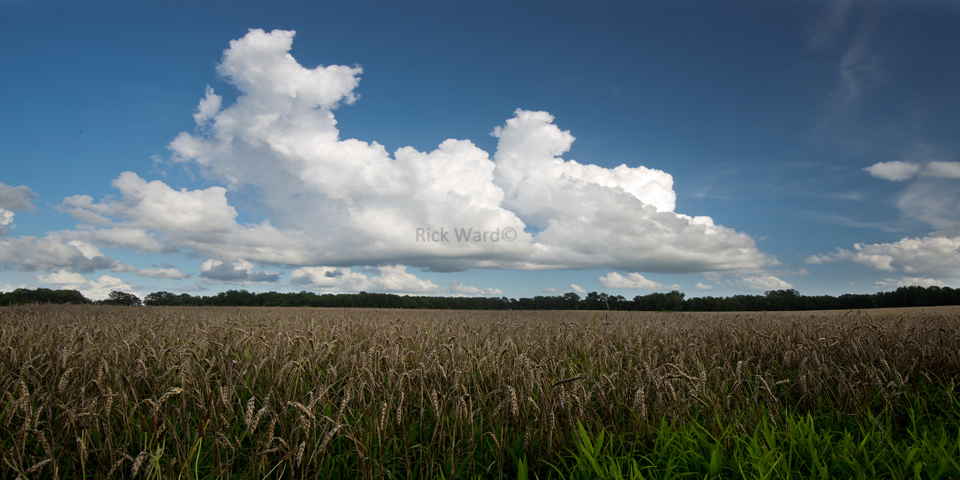 Wheat Field 16 X 32 in.